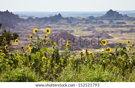 Yellow Wild Sunflowers with Bad Land Valley in the distance - stock photo