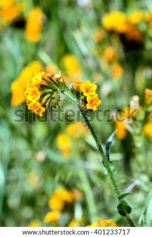 Yellow wildflower known as Fiddleneck or Amsinckia growing in California. - stock photo