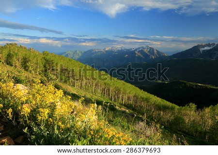 Yellow wildflowers in the Wasatch Mountains, Utah, USA. - stock photo