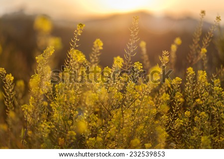 Yellow Wildflowers under sunset light and mountain background - stock photo