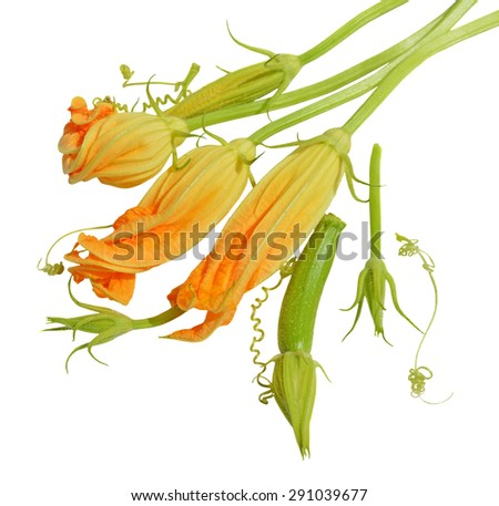 Yellow zucchini blossoms, leaves and tendril on white background - stock photo