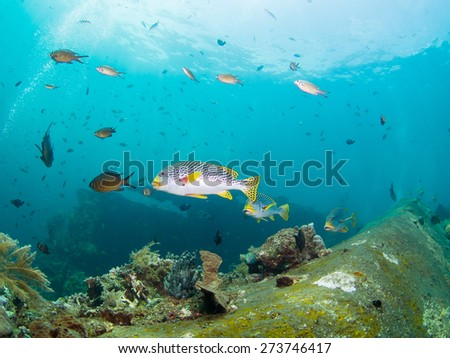 Yellowbanded Sweetlips on the Second World War USA Liberty Wreck in Tulamben,  Bali, Indonesia. The wreck is overgrown with corals and sponges and many species of fish live there. - stock photo