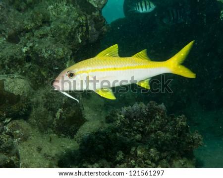 Yellowfin goatfish (Mulloides vanicolensis) - stock photo