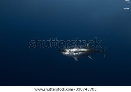 Yellowfin Tuna Fish on Blue Background Underwater - stock photo