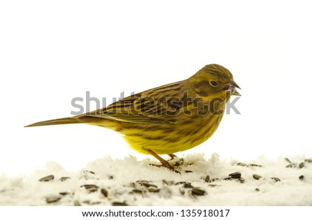 Yellowhammer eating sunflower seeds isolated on white background - stock photo