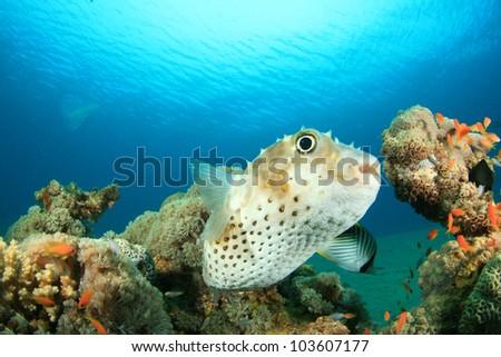 Yellowspotted Burrfish (Puffer or Porcupinefish) - stock photo