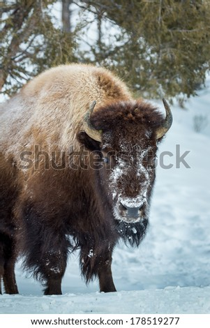 Yellowstone Bison - stock photo