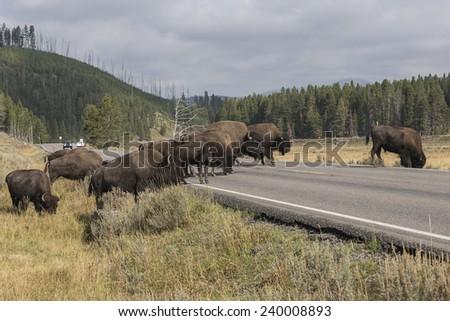 Yellowstone Bison Herd Crossing Roadway - stock photo