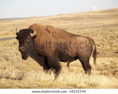 Yellowstone Bison in Autumn - stock photo