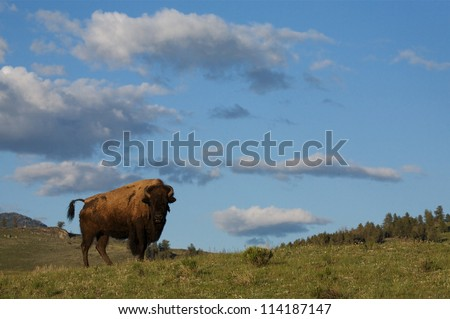 Yellowstone National Park environmental image; a Bison / Buffalo stands in prairie sagebrush habitat with blue sky and clouds in the background; Yellowstone wildlife photography - stock photo