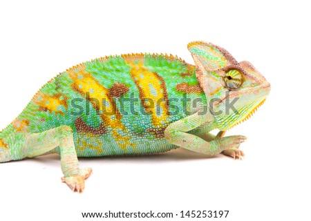 Yemen chameleon isolated on white background - stock photo