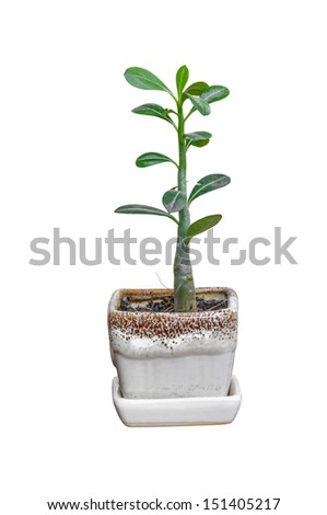 yong impala lily tree in the white flowerpot isolated on whte background - stock photo