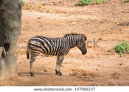 Yong zebra standing on the soil - stock photo
