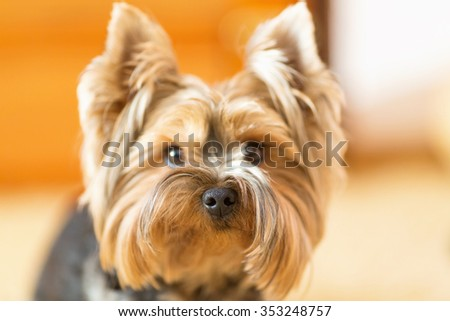 York Terrier looks closely at his master. Yorkshire terrier, puppy, young dog, close up. Small dog breed terrier york. Yorkshire terrier indoor. - stock photo