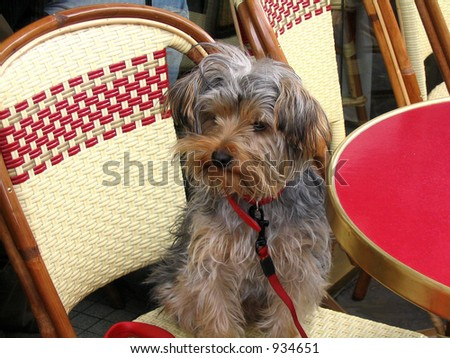 Yorkie dog on Parisian cafe chair with a red table in foreground - stock photo