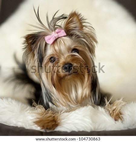 Yorkie on deer leather - stock photo