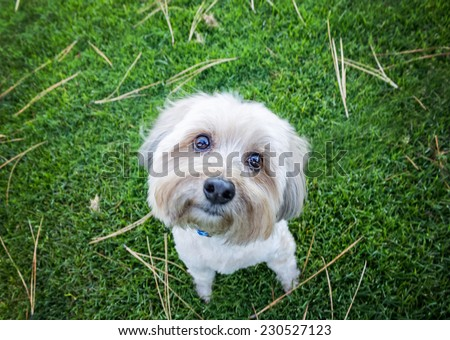 yorkie poo looking upward from the ground with head tilt in the grass with a drama instagram filter - stock photo