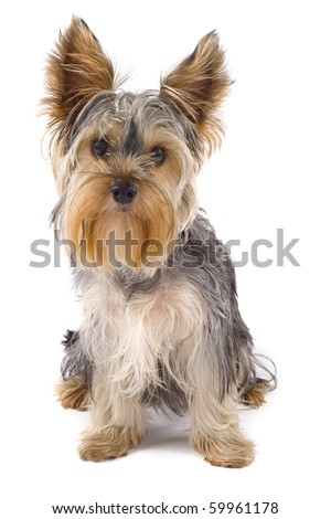Yorkie puppy isolated on white with it's head tilted - stock photo