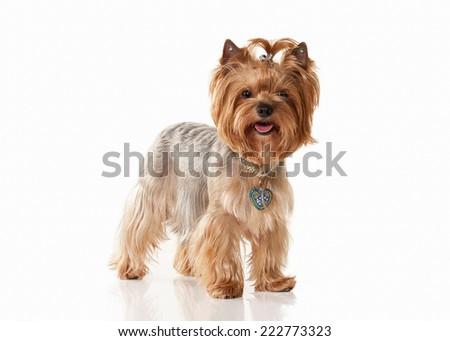Yorkie puppy on white gradient background - stock photo