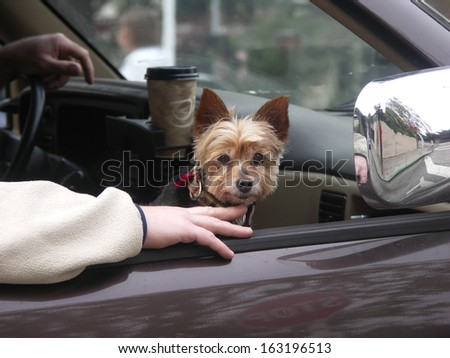 Yorkie riding in car - stock photo