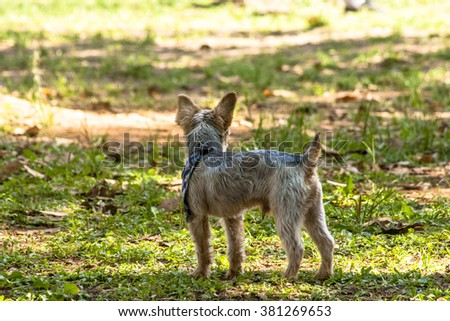 Yorkshire breed dog in a park - stock photo