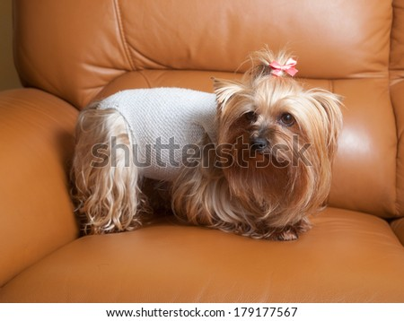 Yorkshire dog recovering after surgery. The dog is inside home. - stock photo