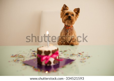 Yorkshire terirer  looking at birthday cake in front on table - stock photo