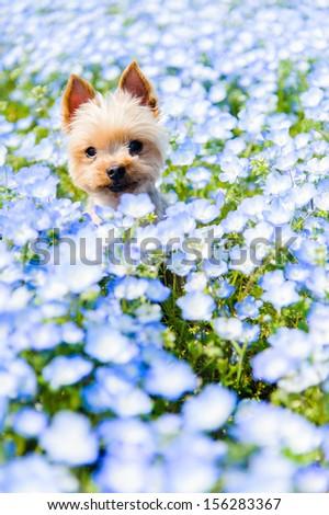 Yorkshire terrier and nemophila - stock photo