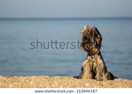 Yorkshire terrier breed on the coast. York terrier sits on background of the sea and the beach. Dog on the shore of the ocean. Space for text. Beautiful York terrier on the shore near the ocean. - stock photo