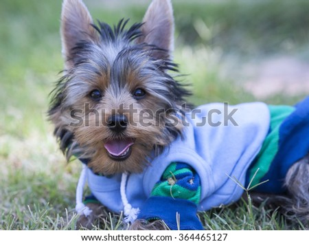 Yorkshire Terrier Dog, adorable pet dress in the garden - stock photo