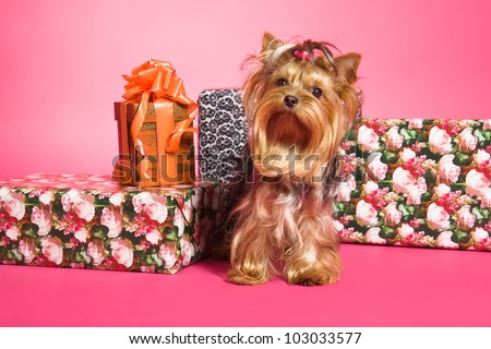Yorkshire Terrier dog and gifts on pink background - stock photo