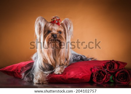 Yorkshire Terrier dog beautiful - stock photo