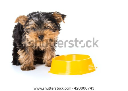 Yorkshire Terrier dog eats from a bowl isolated - stock photo