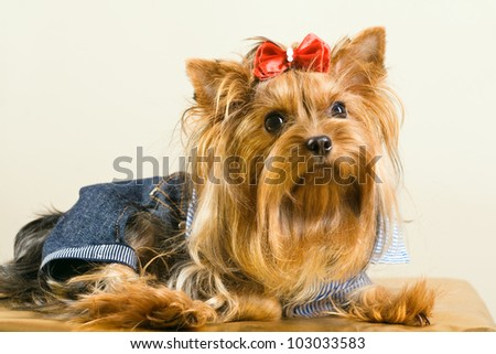 Yorkshire Terrier dog in clothes with red bow - stock photo