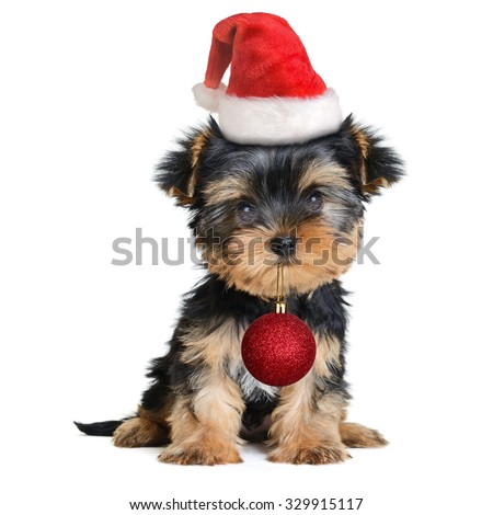 yorkshire terrier dog in the santa hat isolated on white,Merry Christmas and Happy New Year - stock photo