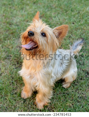 yorkshire terrier dog on the grass - stock photo
