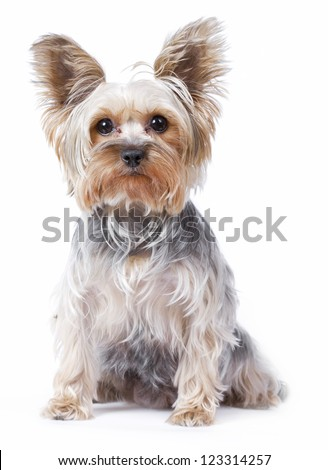 Yorkshire terrier dog over white background - stock photo