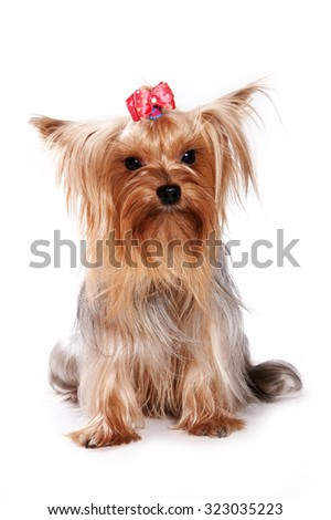 Yorkshire Terrier dog sitting and looking at the camera (isolated on white) - stock photo