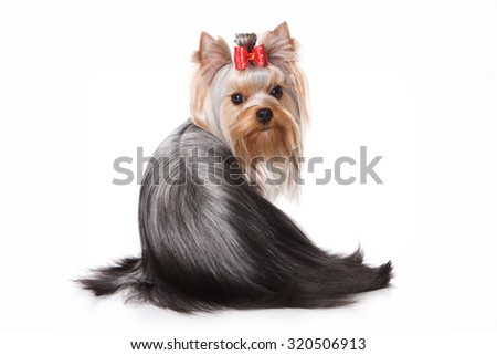 Yorkshire Terrier dog sitting back and looking at the camera (isolated on white) - stock photo