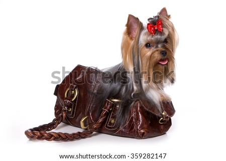 Yorkshire Terrier dog sitting in a bag (Isolated on white) - stock photo