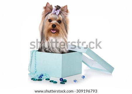 Yorkshire Terrier dog sitting in a box (isolated on white) - stock photo