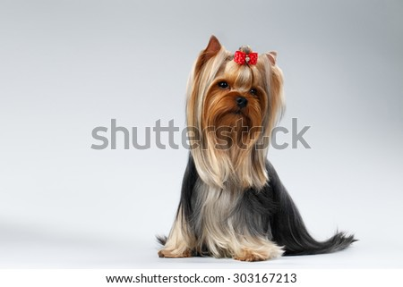 Yorkshire Terrier Dog with long groomed Hair Sits on white background - stock photo