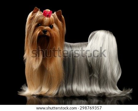 Yorkshire Terrier Dog with long groomed Hair Stands on black Mirror background - stock photo