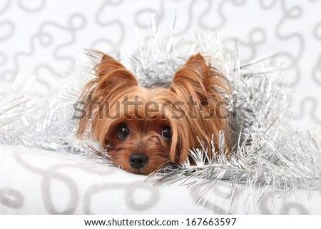 Yorkshire terrier in a basket on a gray background - stock photo