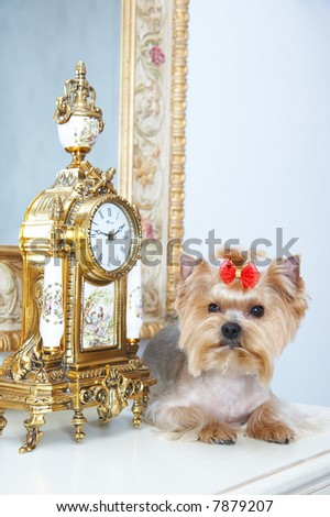 yorkshire terrier in beautiful interior - stock photo