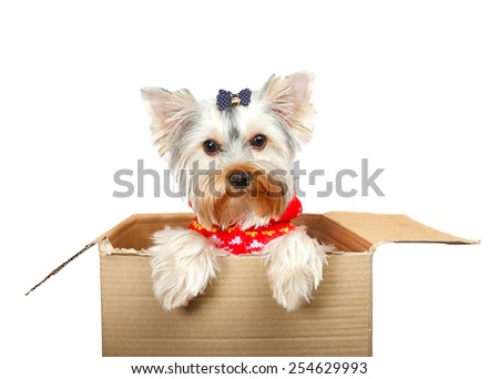 Yorkshire Terrier in cardboard box - stock photo