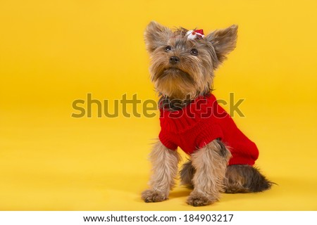 Yorkshire terrier in clothes - stock photo