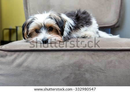 Yorkshire Terrier laying on a chair - stock photo