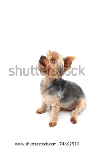 Yorkshire Terrier looking up - stock photo