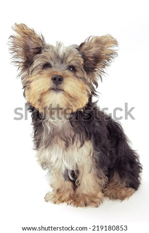 Yorkshire Terrier looking up, isolated on white background - stock photo